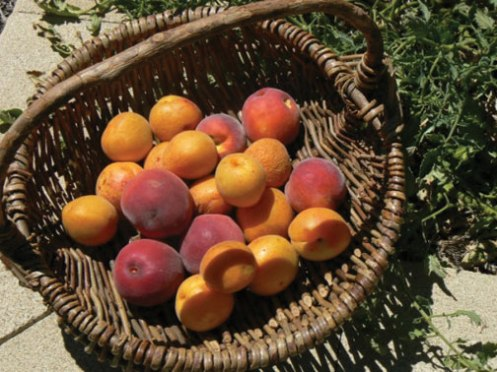 Poached-stone-fruit-with-honey-labne